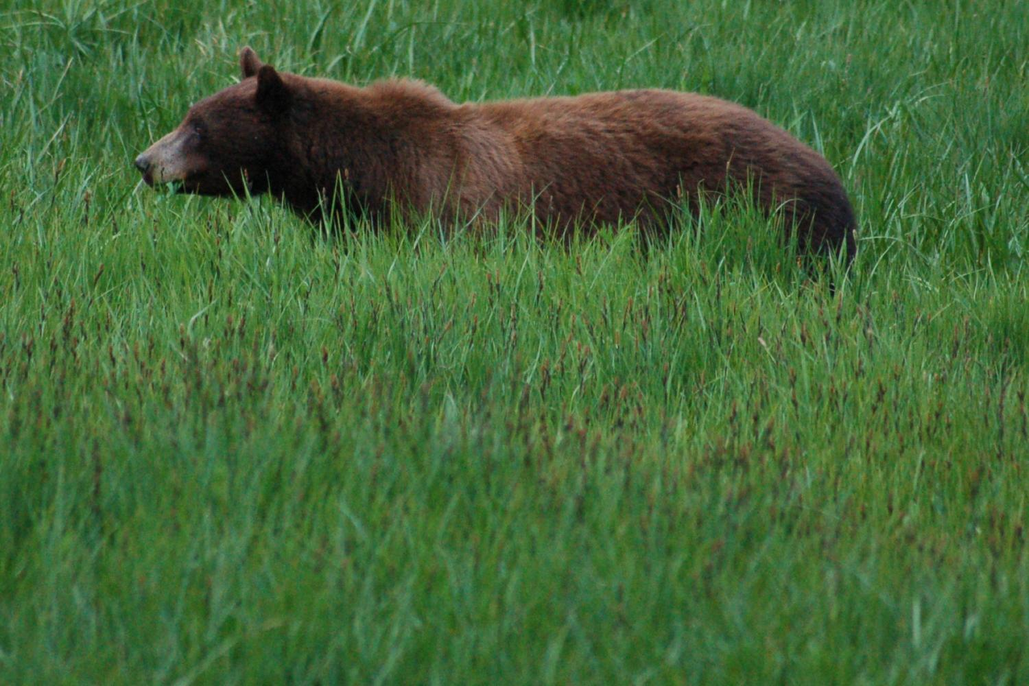 A black bear eats grass in Yosemite National Park. Courtesy Ed Coyle Photography