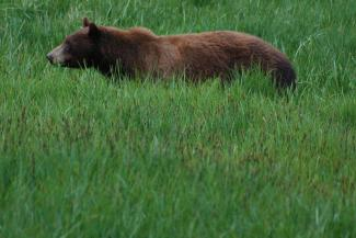 A black bear in the grass at Yosemite National Park. Courtesy Ed Coyle Photography